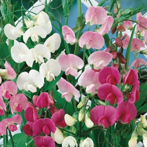 Sweet Peas Super Scented Mix