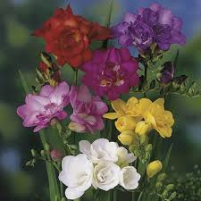 Mixed Fragrant Patio Freesias