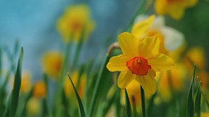 winter daffodils_careco