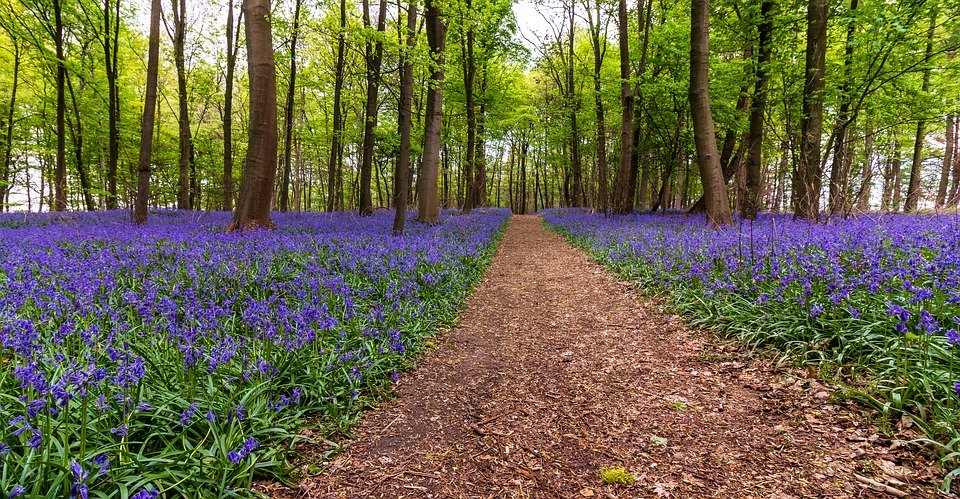 bluebell woodland wallk