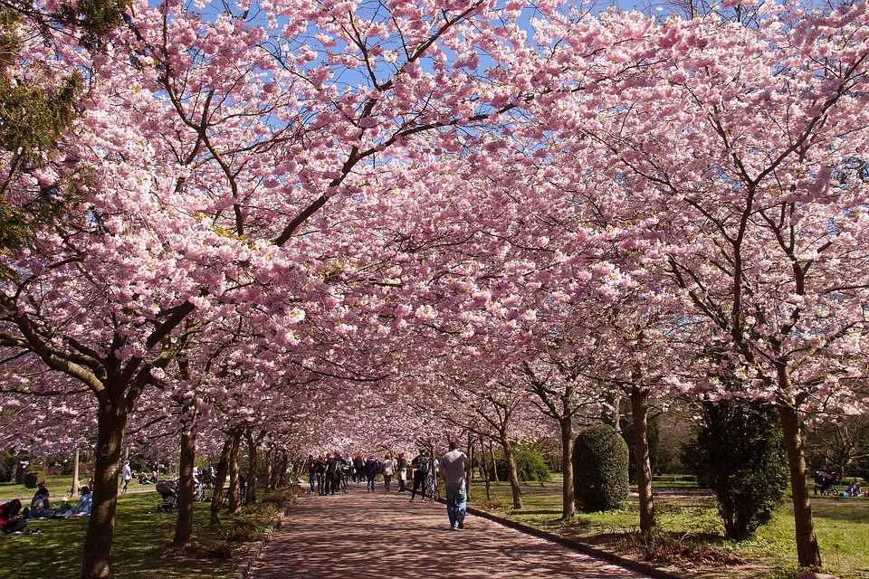 cherry blossom along a park path