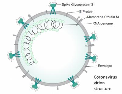Coronavirus virion structure